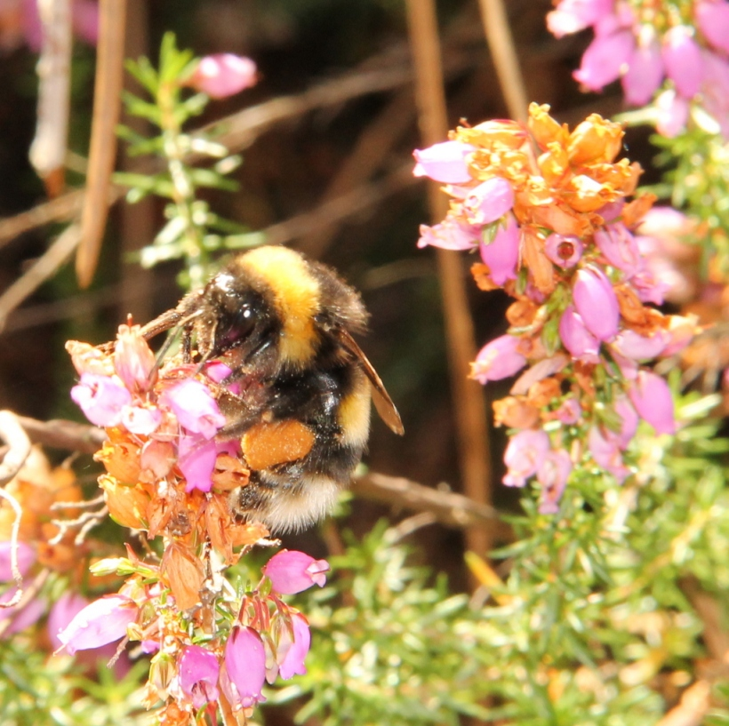 White-tailed bumble bee on heather