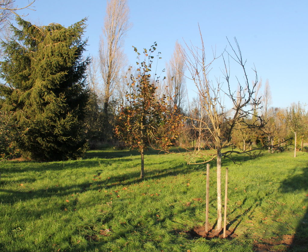 Pear tree replanted