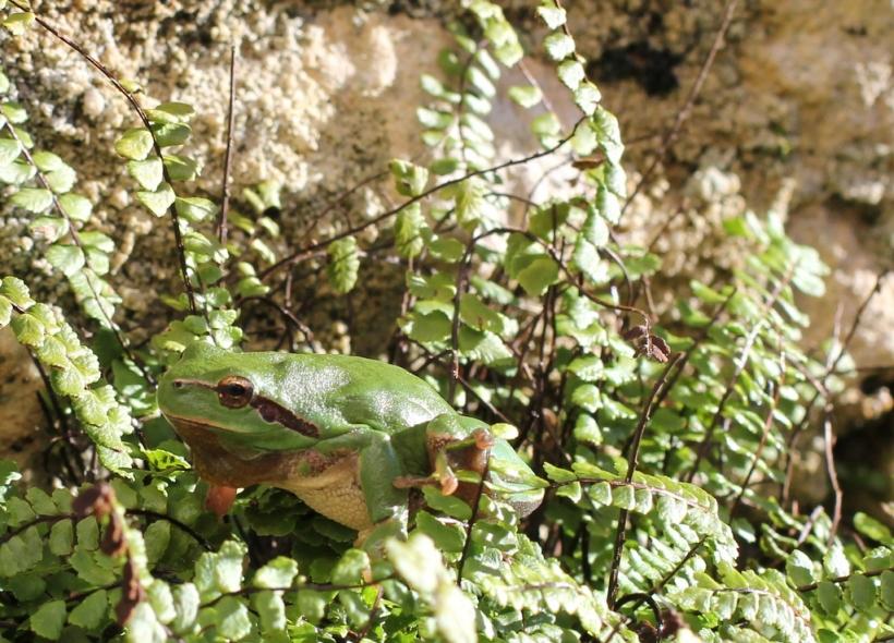 Hyla meridionalis, la rainette méridionale