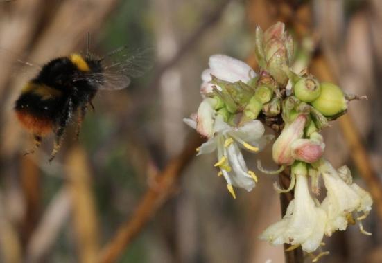 Bombus pratorum and winter honeysuckle