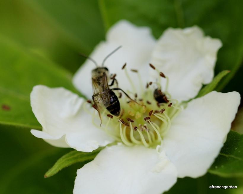 Neflier flower and bee