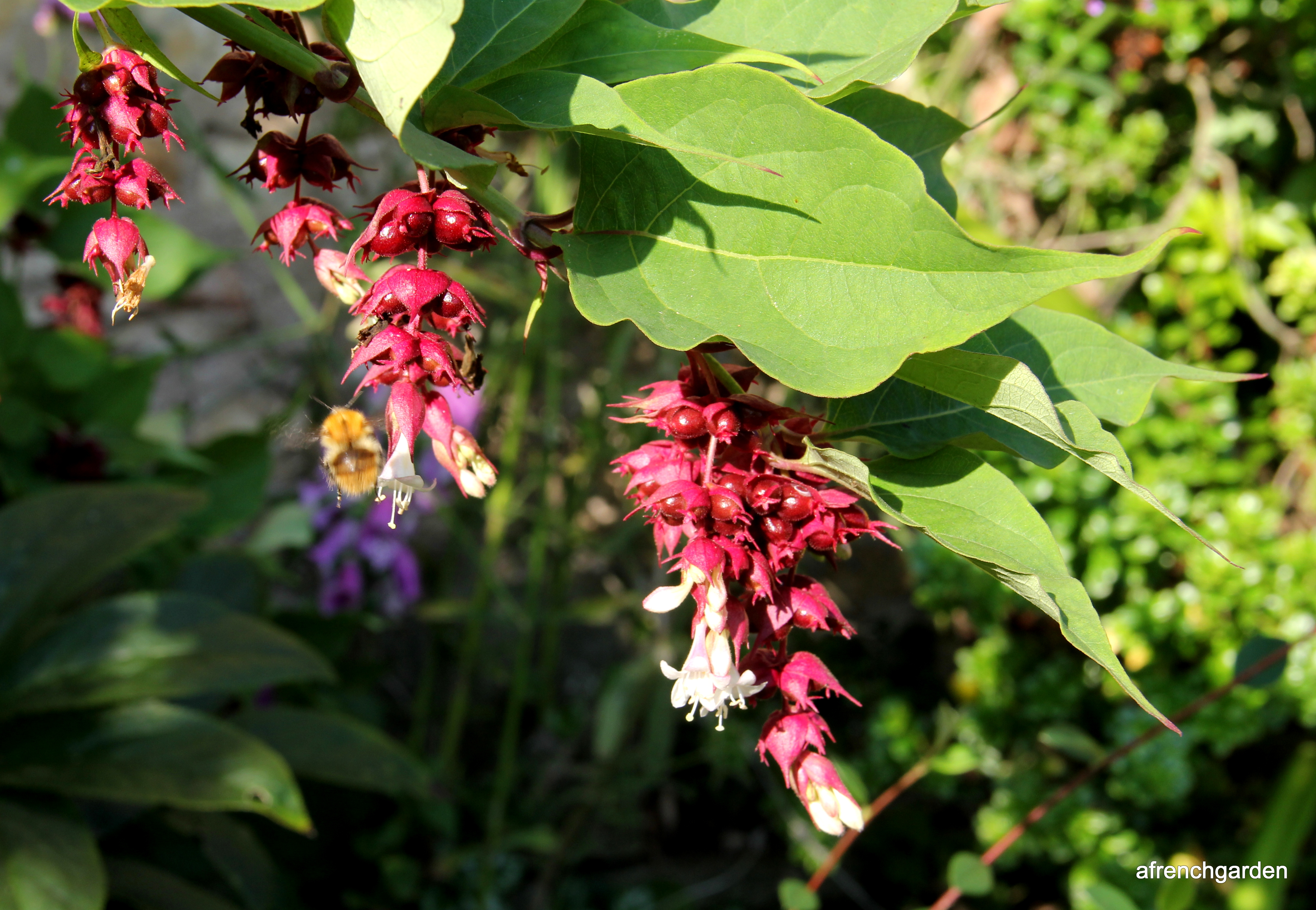 1-Himalayan honeysuckle (Leycesteria formosa) close