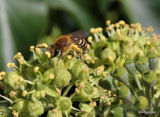 Female Colletes hederae