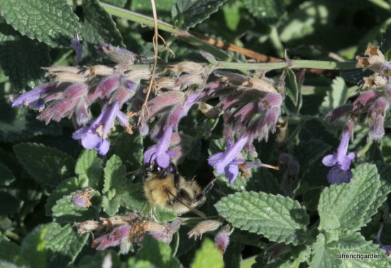 Carder bumble bee on Nepeta