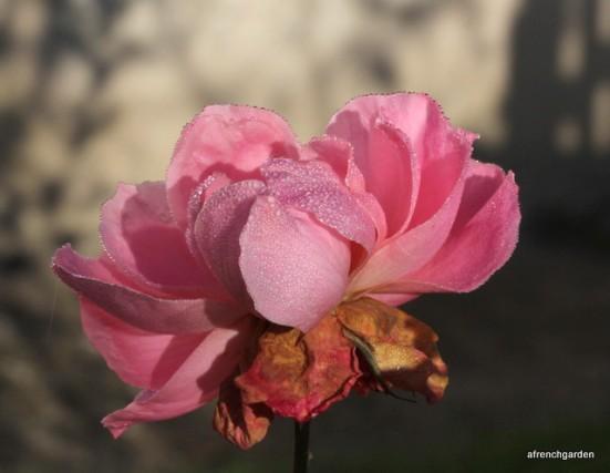 Full rose 2