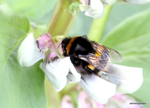 Bumble in broad beans