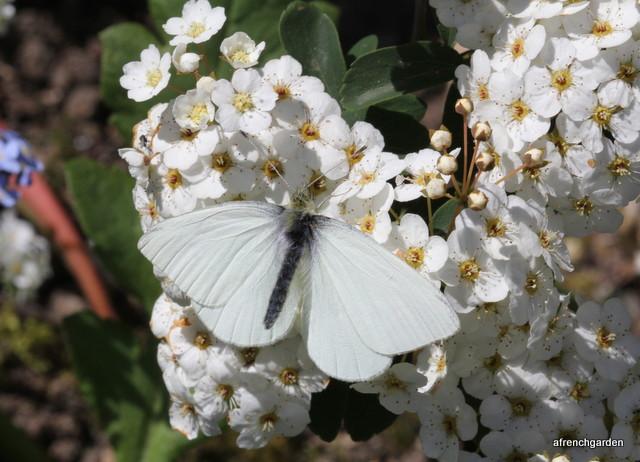 Spirea butterfly
