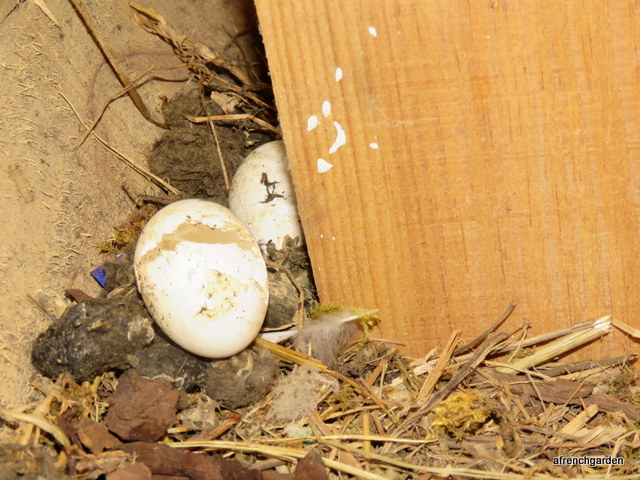 Owl eggs (1)