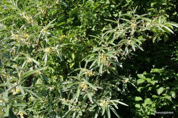 Elaeagnus angustifolia (2)