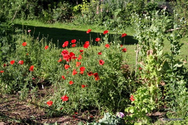 Poppies in veg patch.JPG