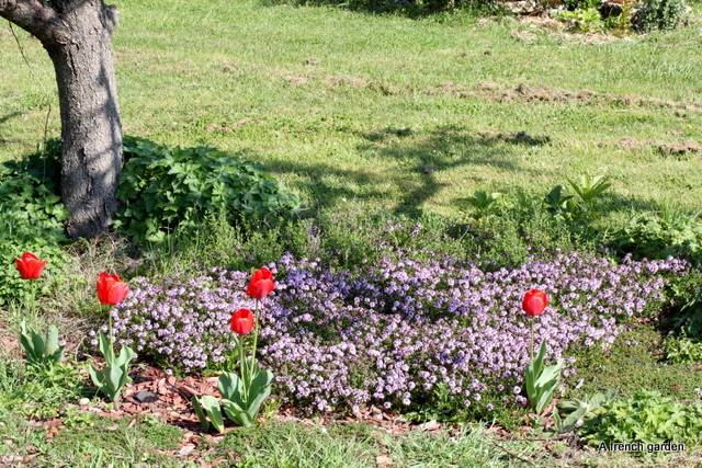 Thyme and tulips