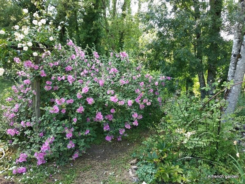 Lavatera bottom of garden